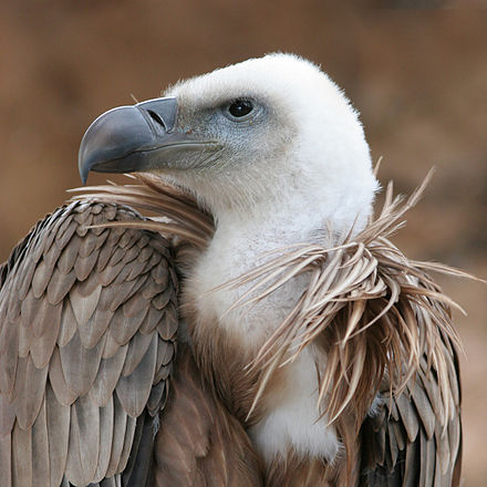 440px-eagle_beak_sideview_a